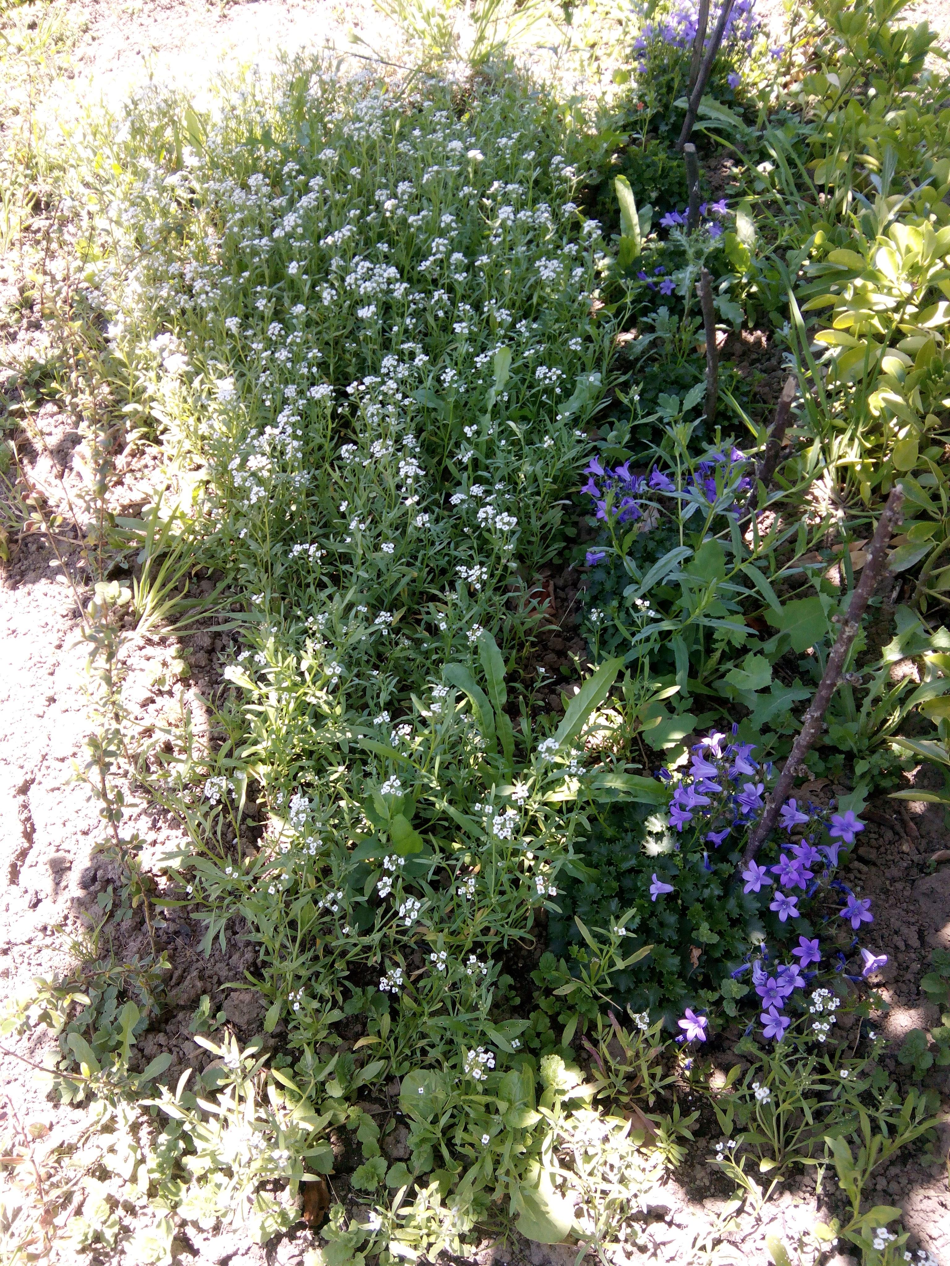 Aliso con flor y aubrieta