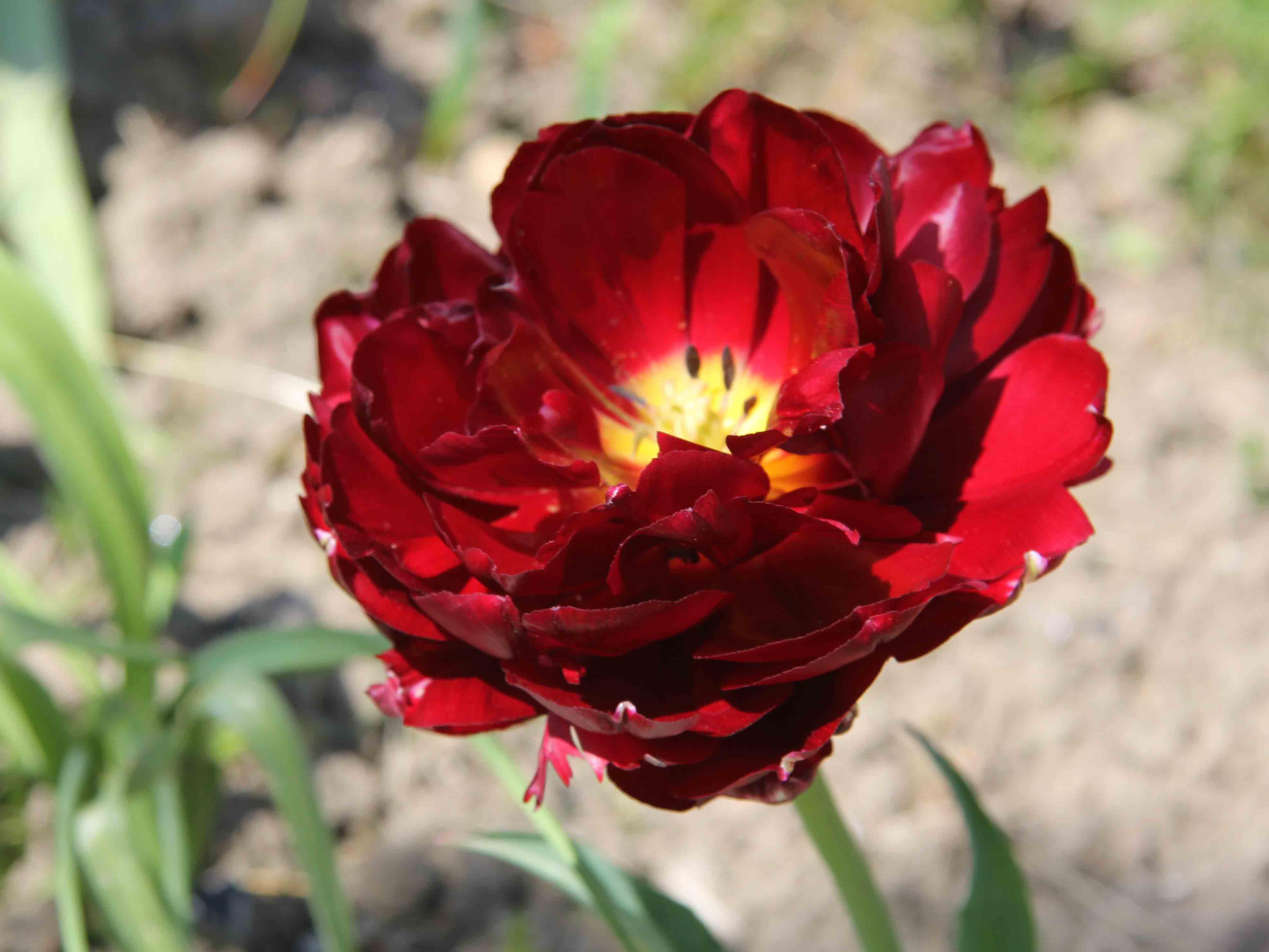 Tulipan doble rojo