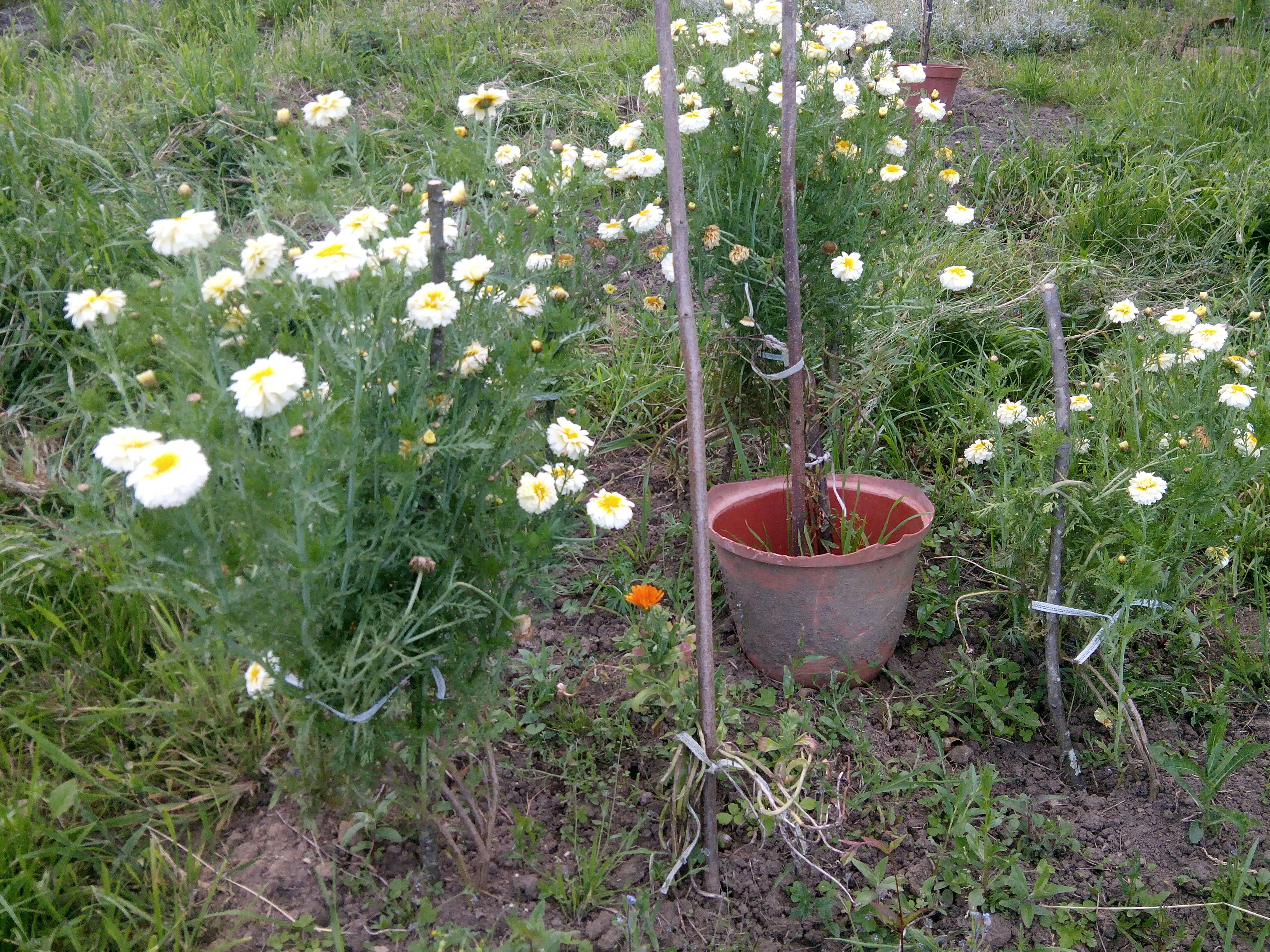 Crisantemo simple