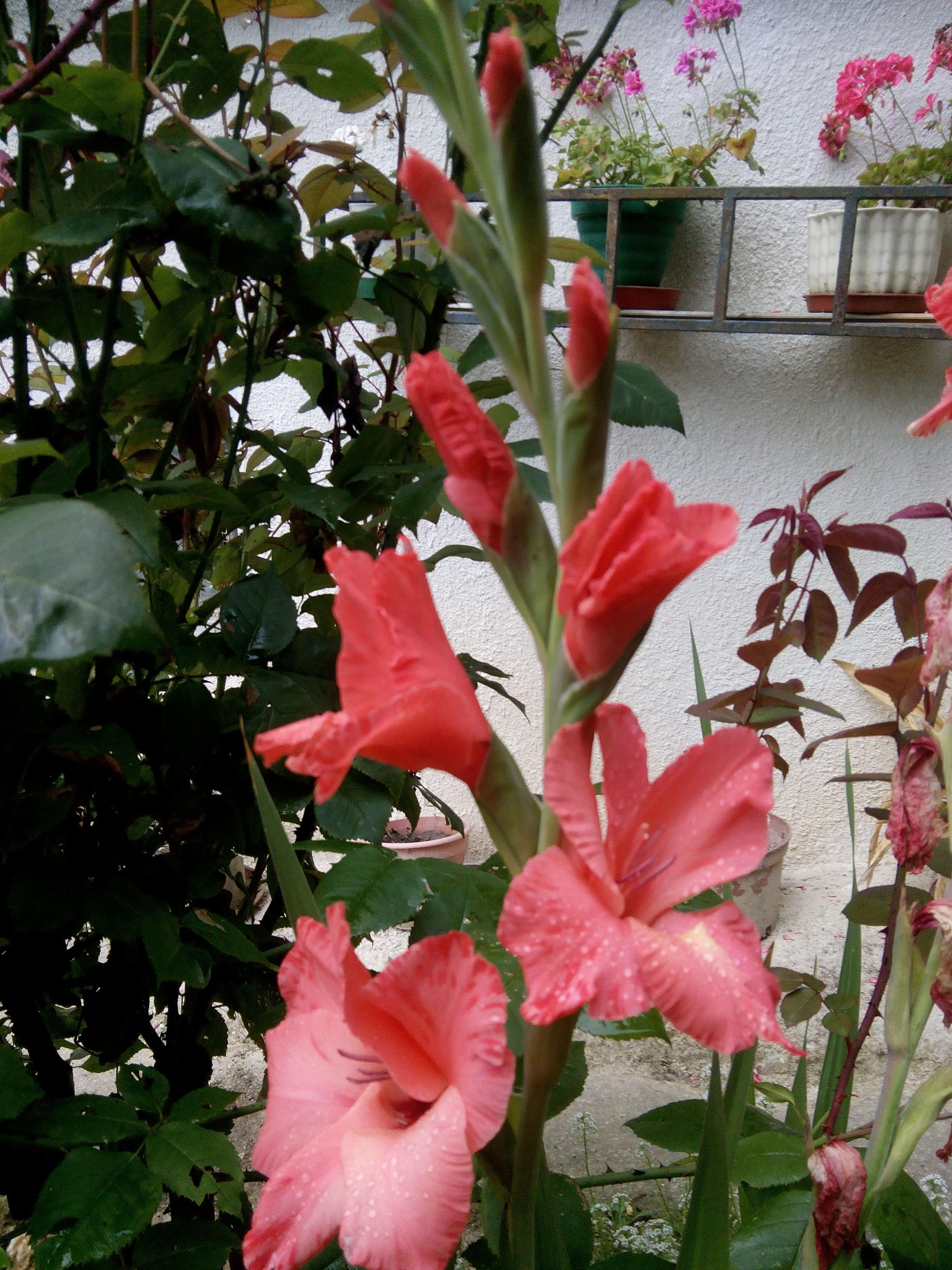 Gladiolo rosa