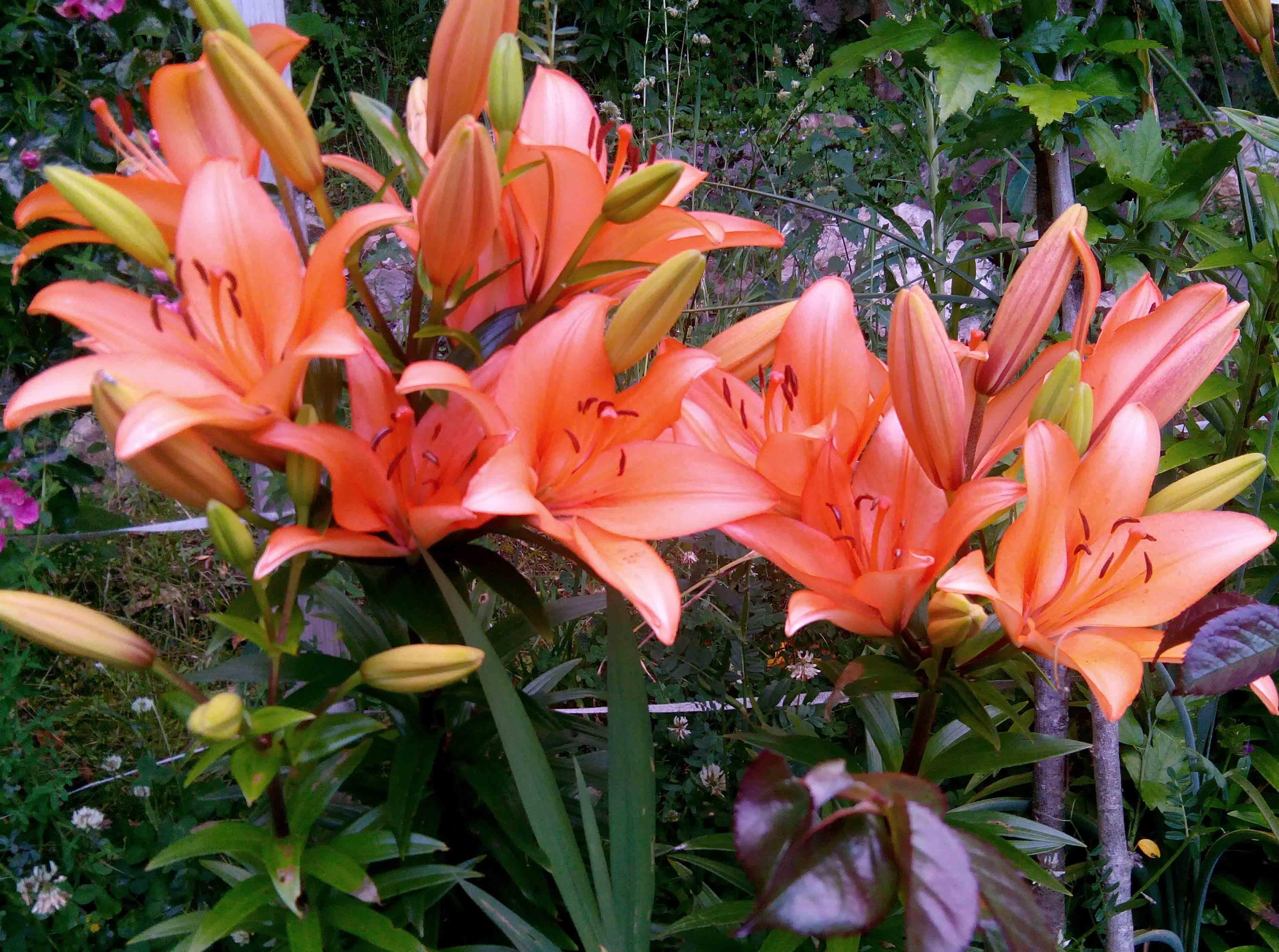 Liliums naranja