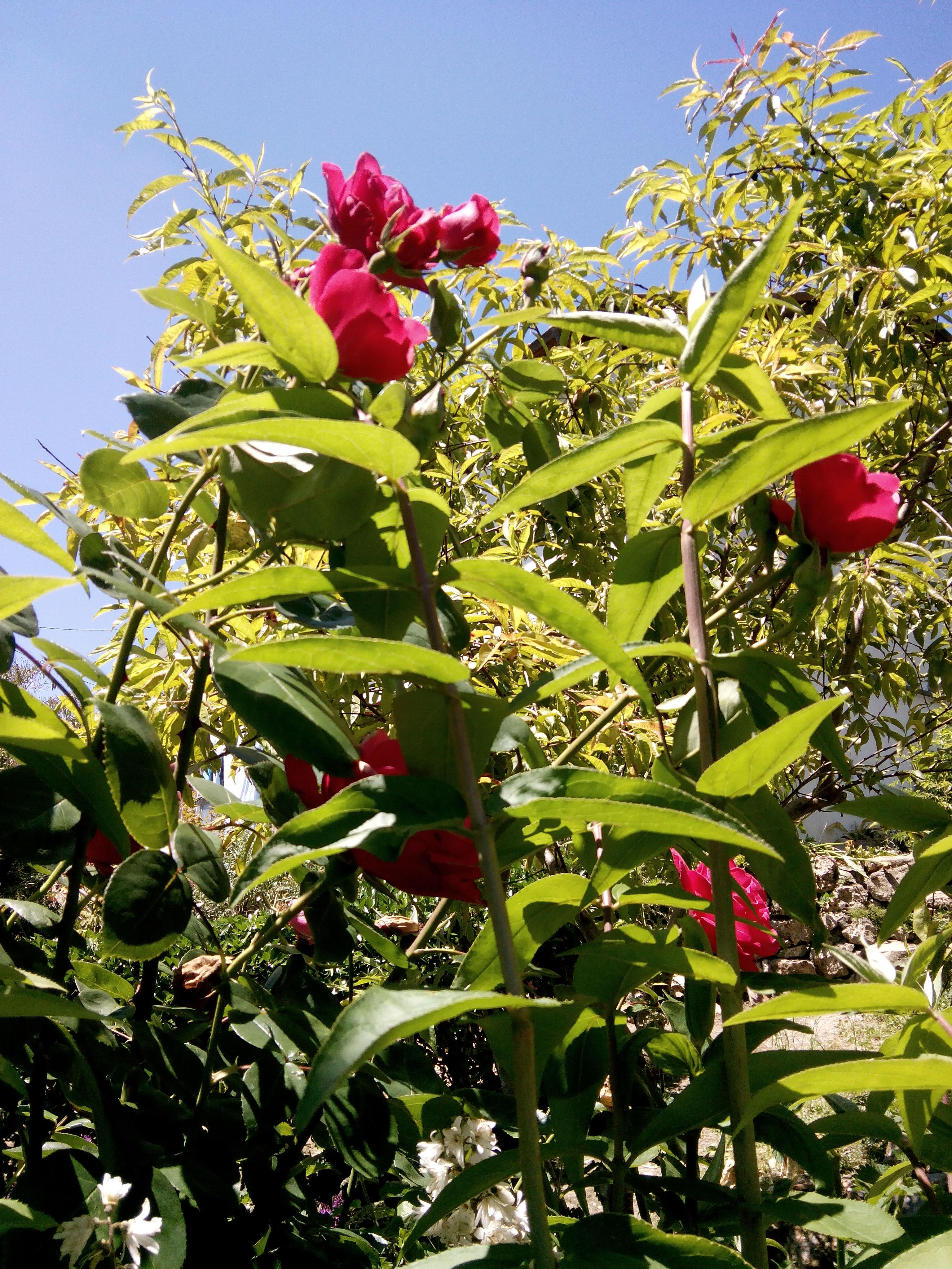Rosal rojo.