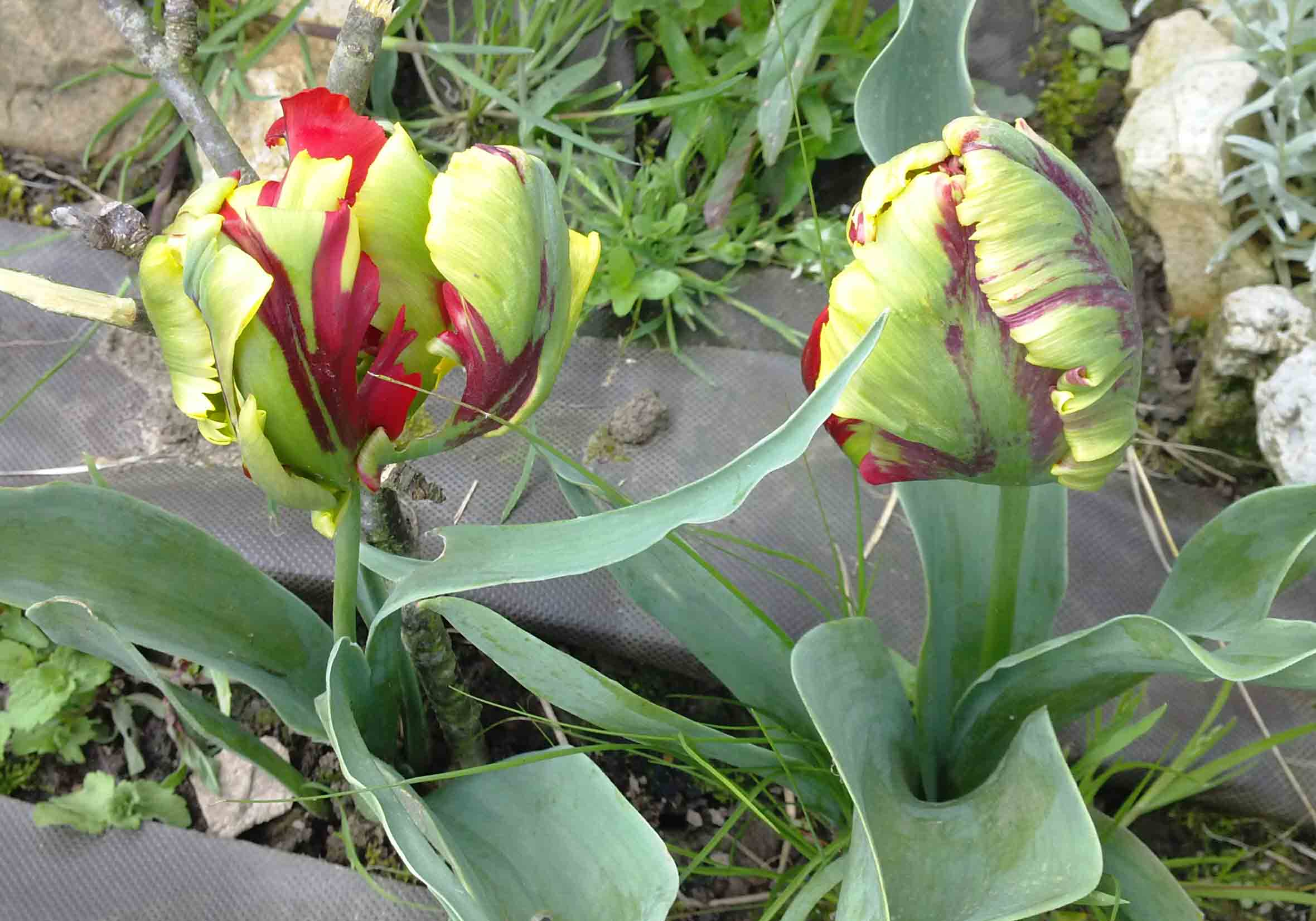 Tulipan amarillo y rojo