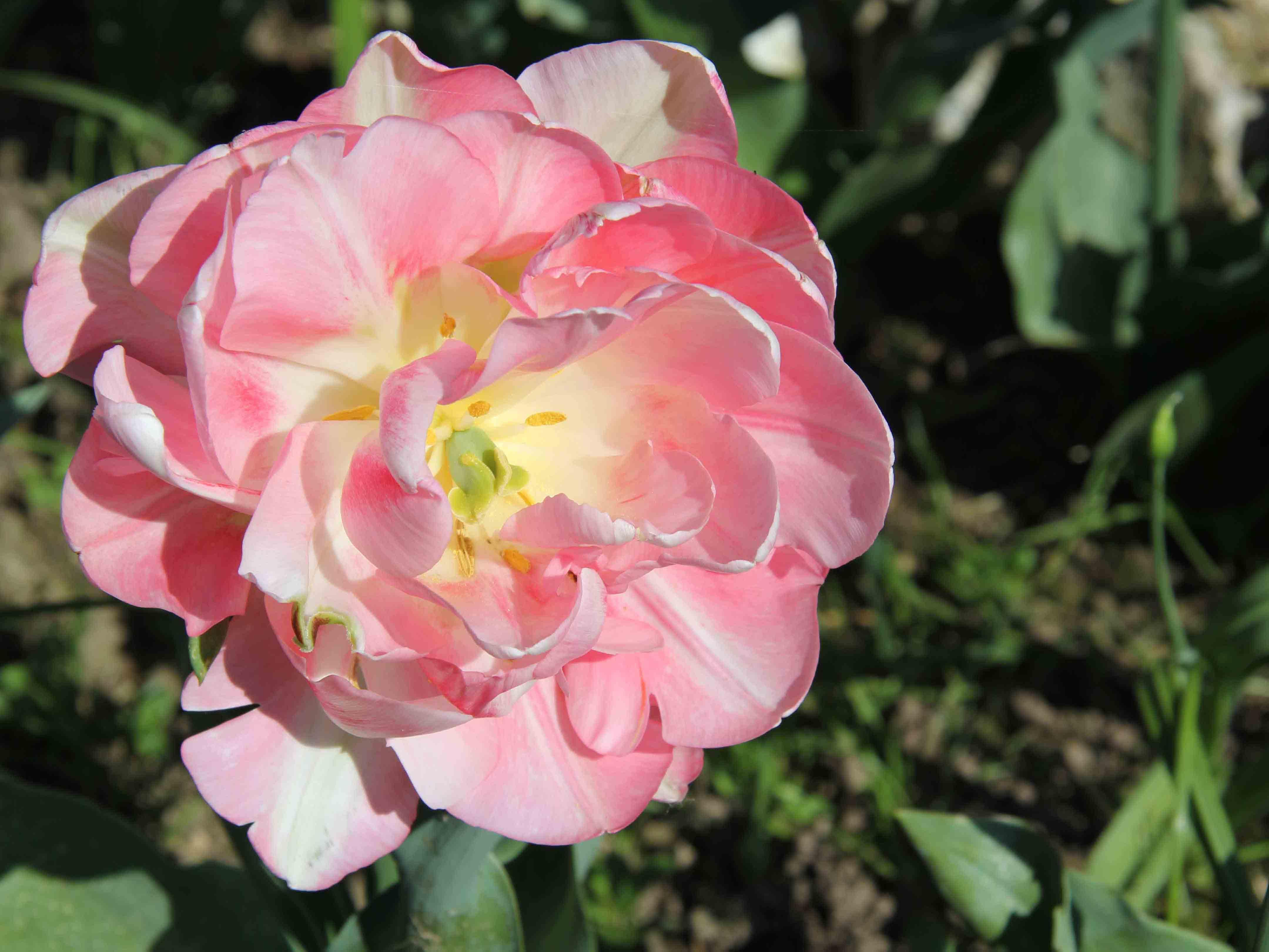 Tulipán doble rosa