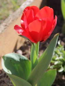 Tulipan sencillo