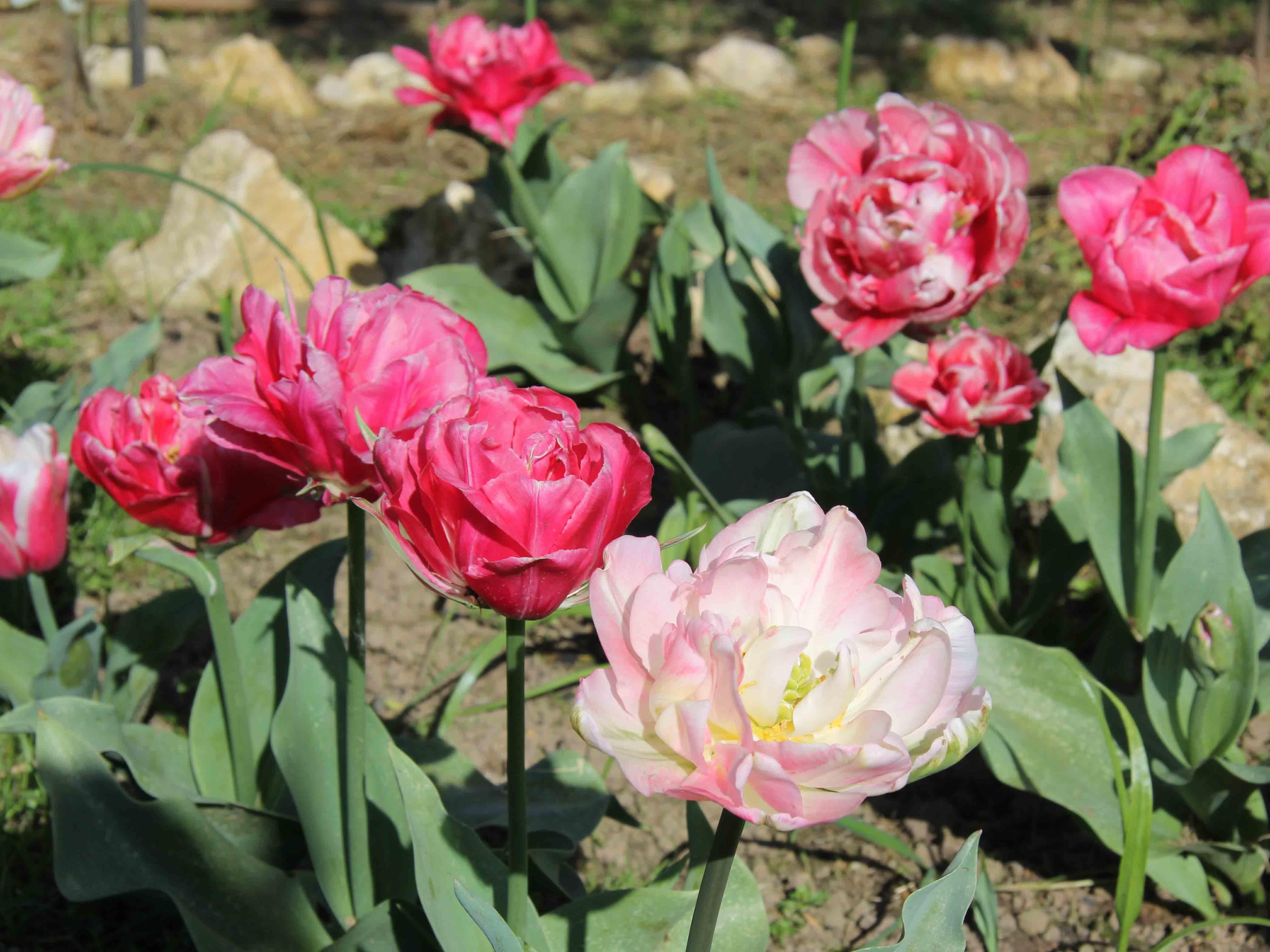 Tulipanes dobles bicolor