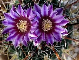 Cactus en flor_01