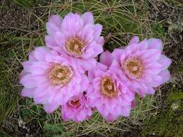 Cactus en flor_03