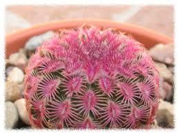 Cactus en flor_04