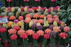 Cactus en flor_06