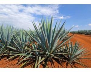 fotos-planta-tequila___2762-planta1-71