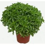 Flores perfumadas - Albahaca