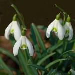 Flores perfumadas - Campanilla de las nieves