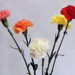 Flores perfumadas - Claveles