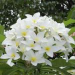 Flores perfumadas - Jazmin