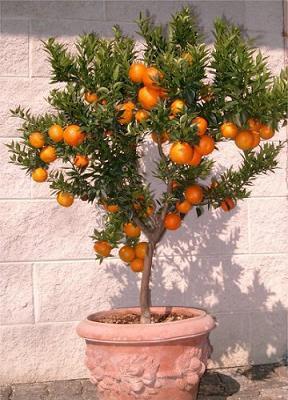 Arboles frutales enanos jard n for Enanos jardin