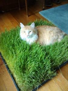 Hierba para gatos_01