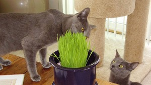 Hierba para gatos_02