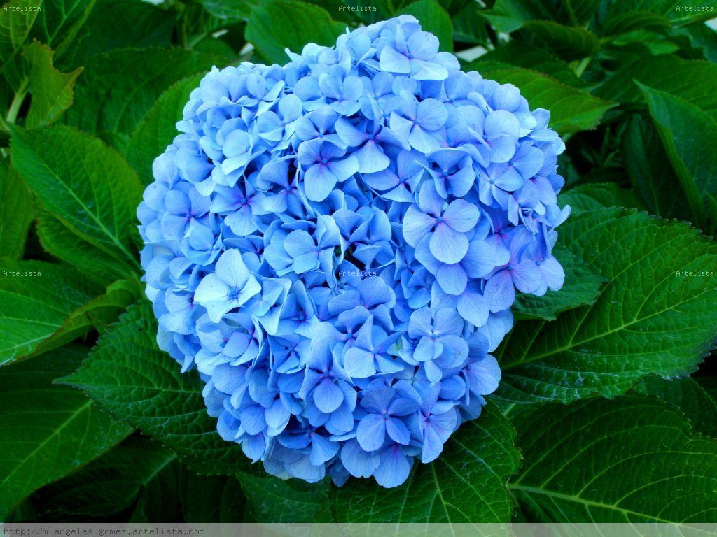 El color de las hortensias - Variedades de hortensias ...