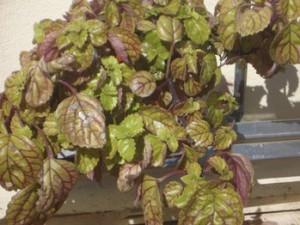 Planta del dinero - Argentatus