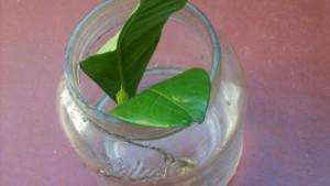 Planta del dinero - Esqueje en agua