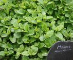 Plantas contra los moquitos - Melisa