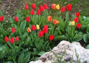 Tulipanes - Siembra_03