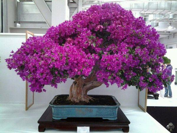 bonsai-albizi