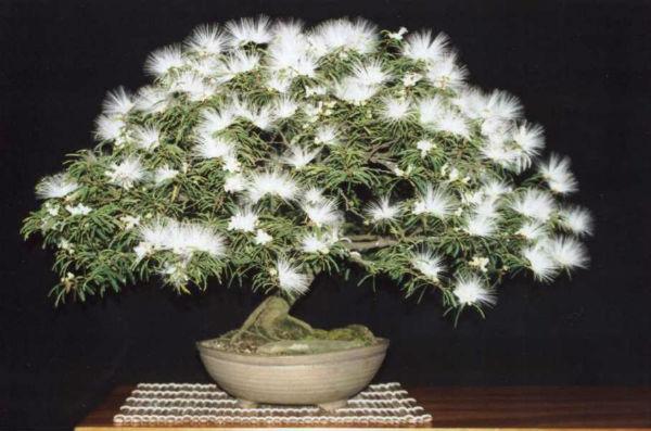 bonsai-buganbilla