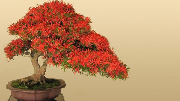 bonsai-caliandra-branca