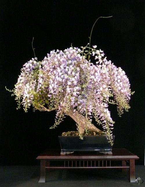 bonsai-wintersweet-amarillo