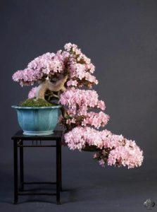 bonsai-de-glicina