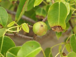 El árbol de la muerte (Hippomane mancinella)