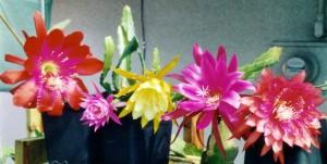 Epiphyllum_04