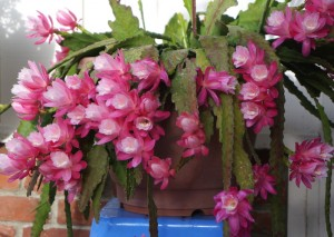 Epiphyllum_05