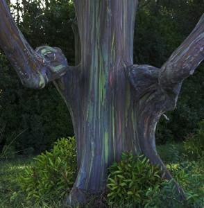 Eucalipto Arco Iris_01