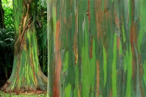 Eucalipto Arco Iris_03