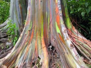 Eucalipto Arco Iris_04