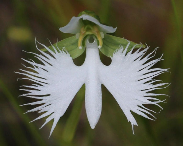 flor-de-la-garza-blanca
