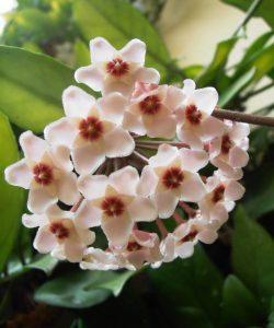 flor-de-porcelana_03