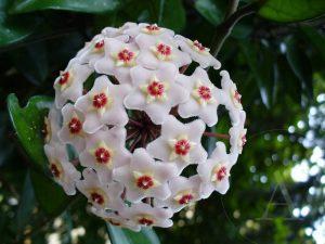 flor-de-porcelana_04
