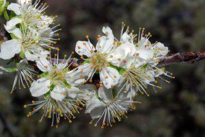 flor-del-ciruelo
