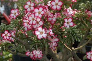 Flores venenosas - Adenium_obesum