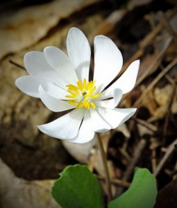 Flores venenosas - Sanguinaria_canadensis