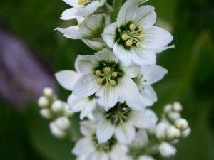 Flores venenosas - VeratrumCalifornicum2
