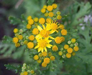 Flores venenosas - jacobea
