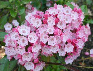 Flores venenosas - latifolia