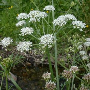 Flores venenosas - oenanthe-crocata