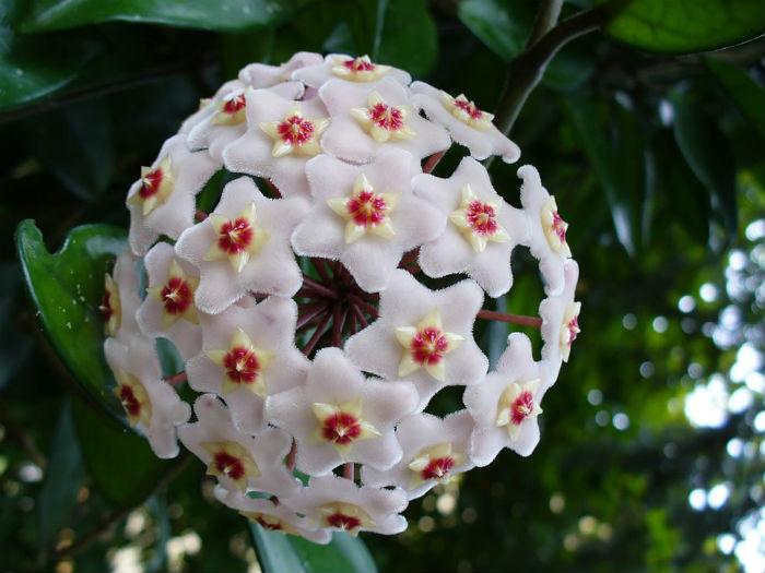 hoya-flor-de-porcenlana