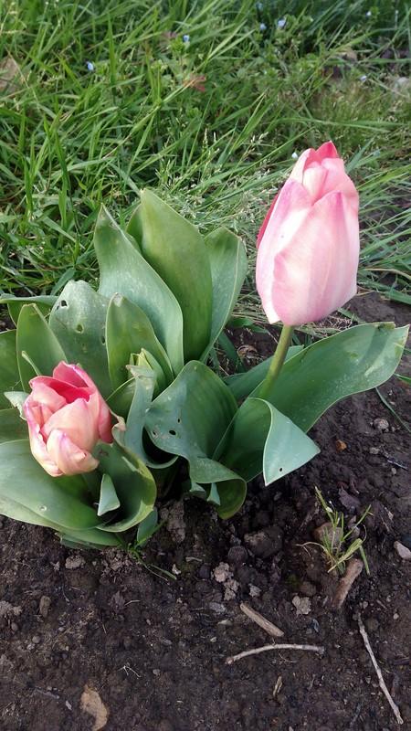 Tulipanes jard n de maru lola - Los jardines de lola ...